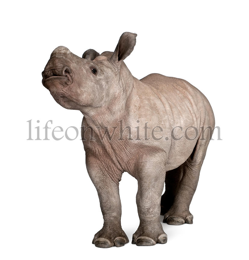 young White Rhinoceros or Square-lipped rhinoceros - Ceratotherium simum (2 months old) in front of a white background