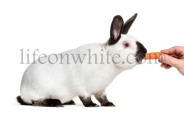 Russian rabbit being fed carrot against white background