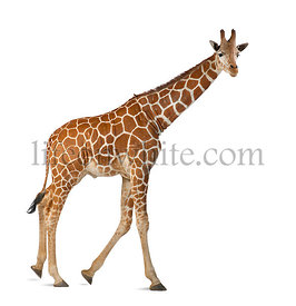 Somali Giraffe, commonly known as Reticulated Giraffe, Giraffa camelopardalis reticulata, 2 and a half years old walking agai...