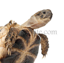 Young Russian tortoise, Horsfield\\'s tortoise or Central Asian tortoise, Agrionemys horsfieldii, close up against white back...