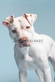 close up of white pit bull in front of light blue background