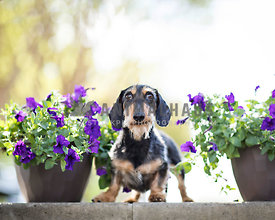 scruffy wirehaired dachshund smiles with purple flowers