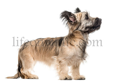Skye Terrier dog looking up isolated on white