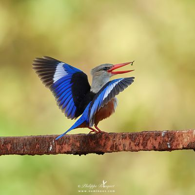 Grey-headed kingfisher flashing wings