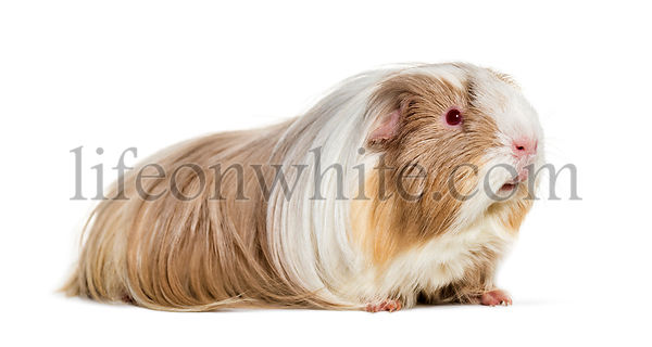 Coronet cavy, Guinea pig against white background