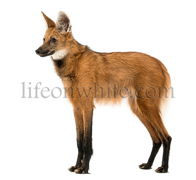 Side view of a Maned Wolf standing, Chrysocyon brachyurus, isolated on white