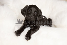 Cute little lab puppy on white blanket