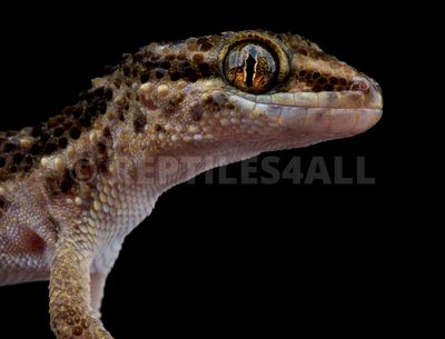 South American Marked Gecko (Homonota horrida)