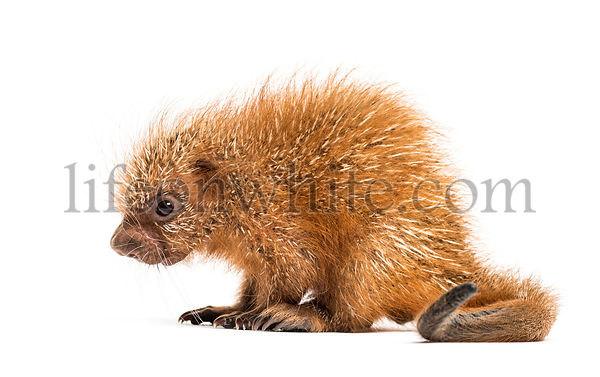Pup prehensile-tailed porcupine, Coendou prehensilis, isolated, 15 days old