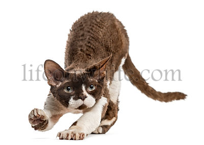Front view of a Devon rex stretching isolated on white