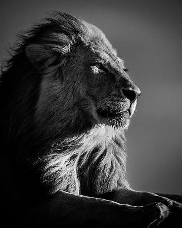 5225-Lion in compliance 2, Tanzania 2007 © Laurent Baheux