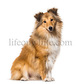 Shetland Sheepdog sitting against white background