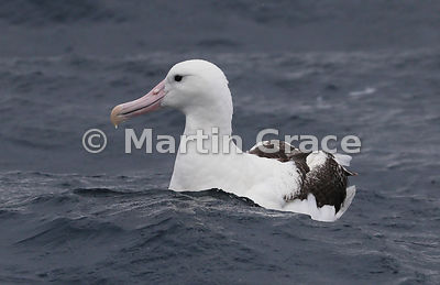 Southern Royal Albatross (Diomedea epomophora) on the water, Kaikoura, Canterbury, South Island, New Zealand