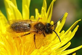 Closeup of the male of the Grey-gastered Mining Bee, Andrena tibialis on a yellow flower of dandelion , Taraxacum officinale