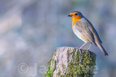 Robin perched on tree trunk enjoing sunny spring day in british woodland.