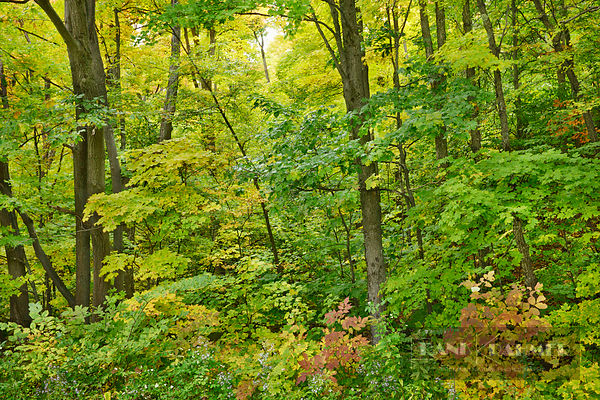 Deciduous forest with sugar maples in autumn colours - North America, Canada, Quebec, Outaouais, Gatineau Park, Parkway Secto...