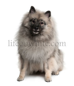 Keeshond, 3 Years old, sitting in front of white background