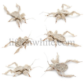 Young masked hunters, Reduvius personatus, covered in dust against white background