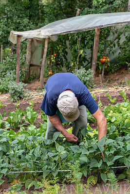 Picking beans Net fillet  'SanFil', France, summer ∞ Cueillette de Haricots nains filet mange tout 'Sanfil', France, Moselle,...