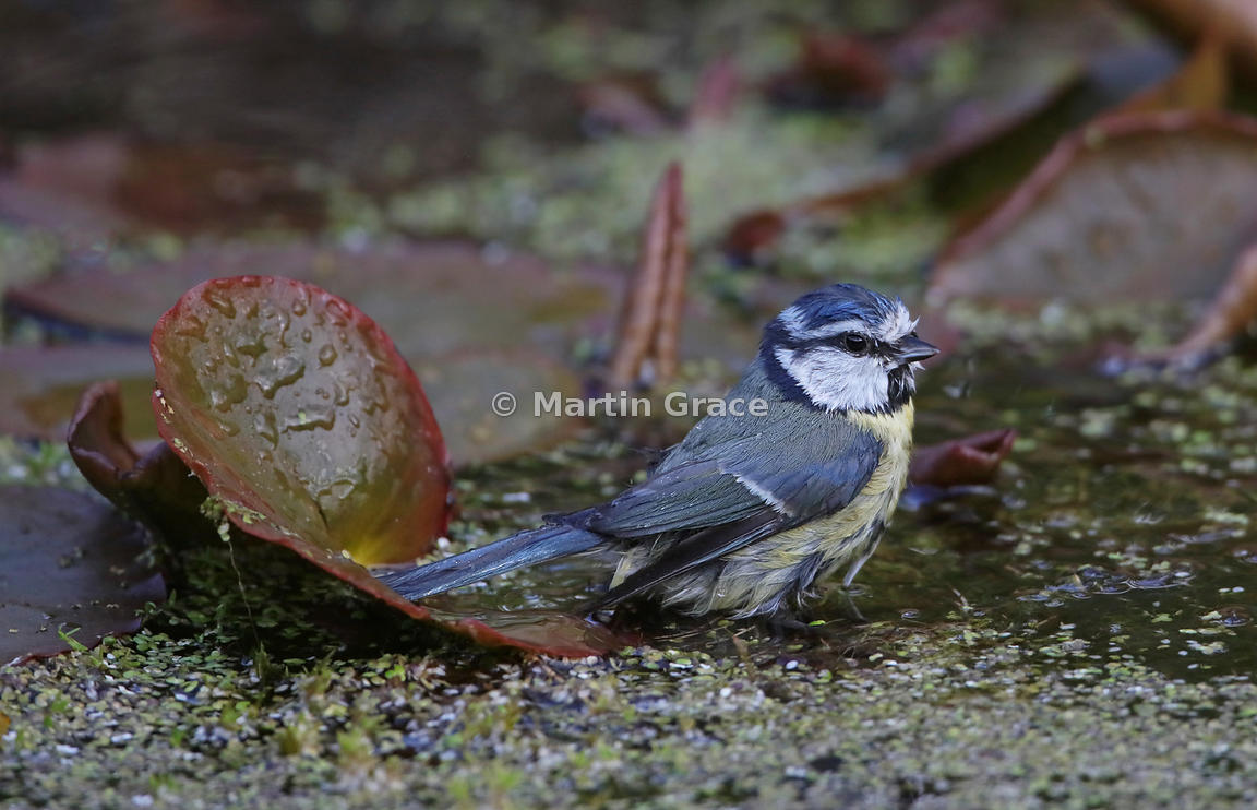 European Blue Tit (Cyanistes caeruleus) standing among water lily leaves in the garden pond, Lake District National Park, Cum...