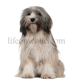 Tibetan Terrier, 1 year old, sitting