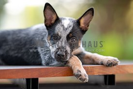 close up of cattle dog puppy laying down
