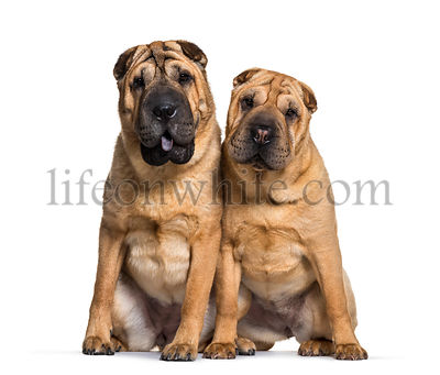 Shar Pei sitting in front of white background
