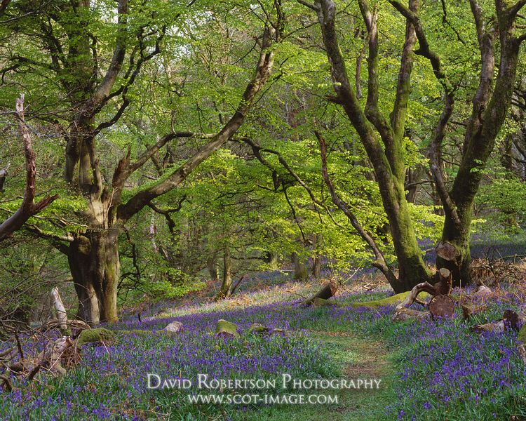 Image - Bluebells in Castramont Wood, Gatehouse of Fleet, Scotland