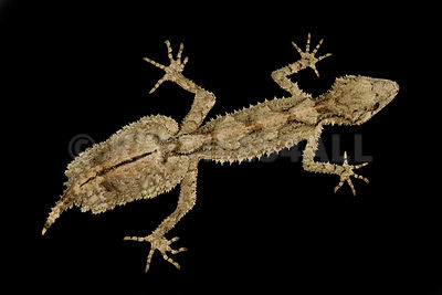 Northern leaf-tailed gecko (Saltuarius cornutus)