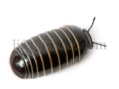 Glomeris marginata. Is a common European species of pill millipede