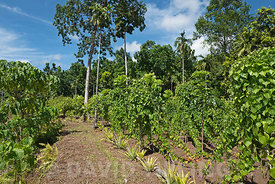 Forest garden where vegetables are grown near Kirakira on Makira island, Solomon Islands, South Pacific