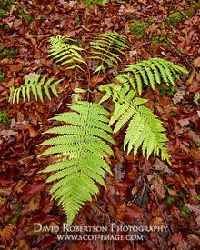 Image - Fern and fallen autumn leaves.