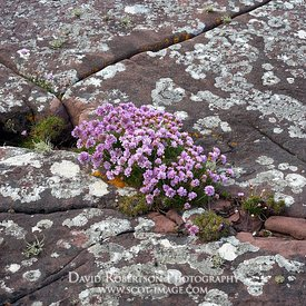 Image - Thrift, Armeria maritima,  growing in cracks in  bedrock. Coastal site, Wester Ross, Highland, Scotland