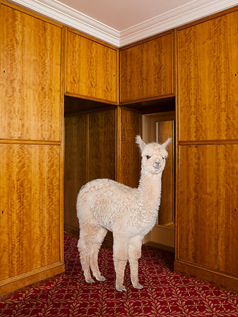 Better Living With Alpacas