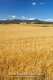 Stock image - Barley Field and Bennachie, Aberdeenshire, Scotland