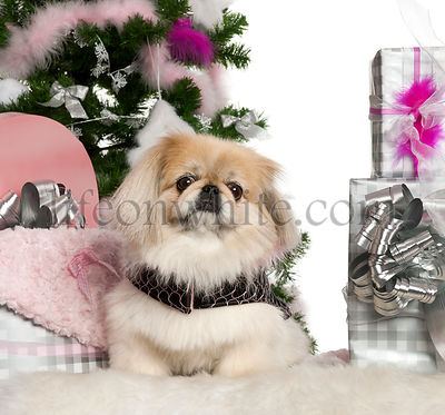 Pekingese, 6 years old, with Christmas tree and gifts in front of white background