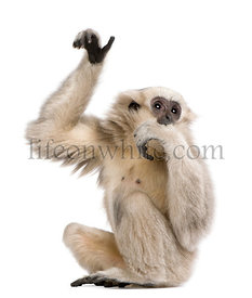 Young Pileated Gibbon, 1 year old, Hylobates Pileatus