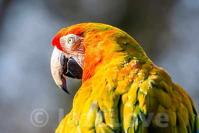 Close up profile portrait of scarlet macaw parrot with dark sky in background.