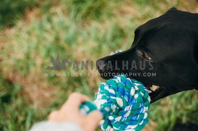 A large black dog playing tug with his owner with a rope toy