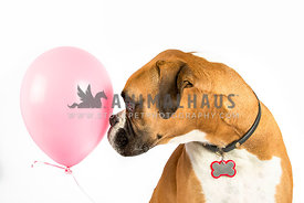 Flashy Boxer Looking at Pink Balloon on White Background