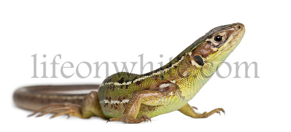 Western Green Lizard, Lacerta bilineata, in front of white background