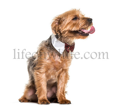 Yorkshire terrier dog in bow tie and collar sitting against white background