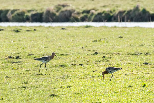 Pair of godwits in the field