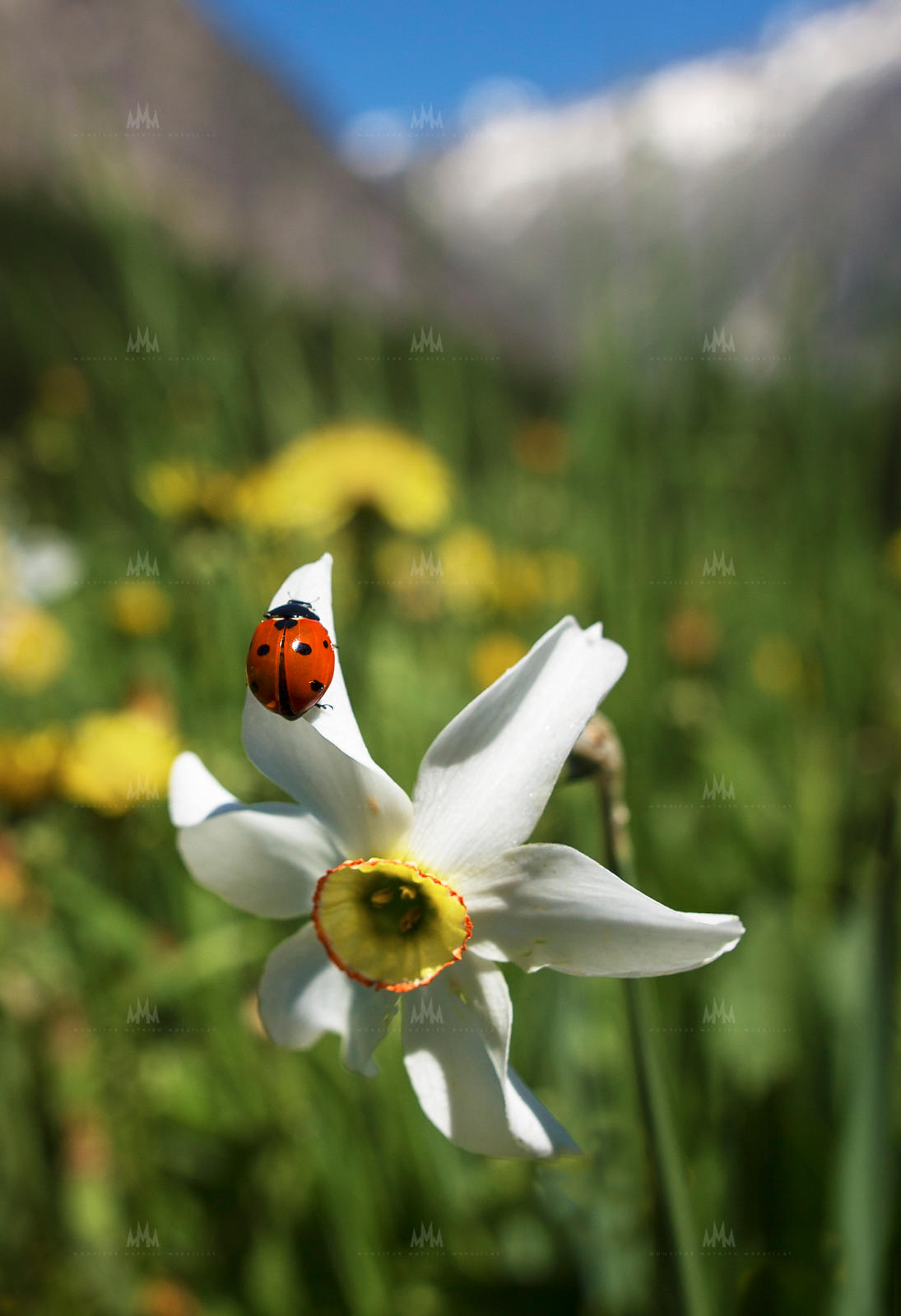 MMM_-_2020_-_Ailefroide_-_Coccinelle_Narcisse_copie