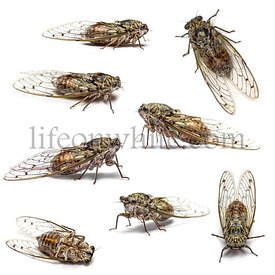 Composition of many Cicada, isolated on white