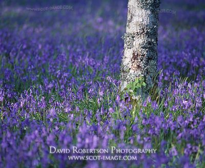 Image - Bluebells and Silver Birch tree trunk