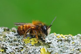 Closeup of a male red mason bee , Osmia rufa, on lichen covered wood