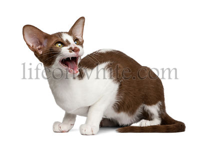 Oriental shorthair sitting and meowing against white background