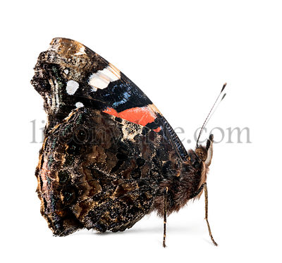 Side view of a Red Admiral butterfly, Vanessa atalanta, against white background