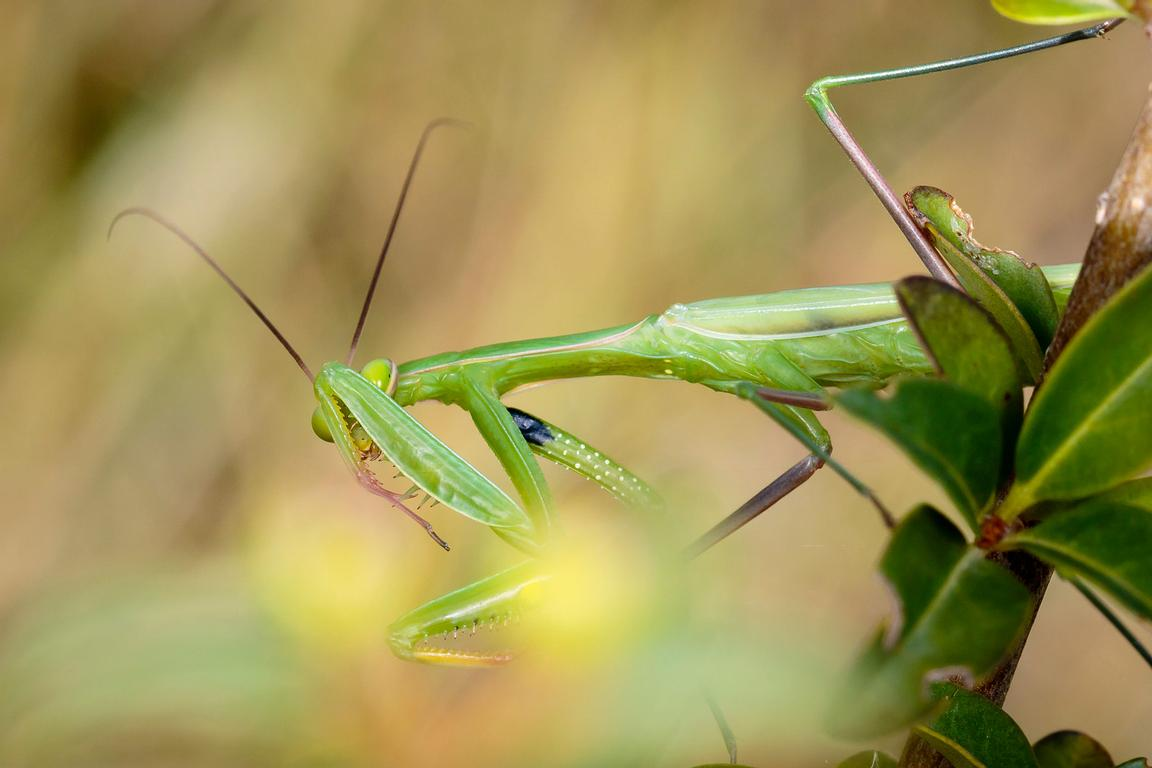 Shy praying mantis